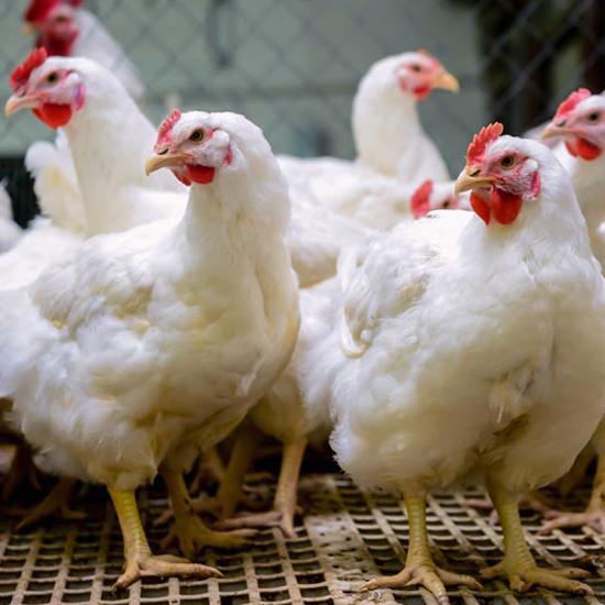 Poultry Farm With Broiler Breeder Chicken. Husbandry, Housing Bu