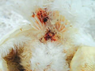 faster recovery in coccidiosis - reduce oocyst shedding in poultry - Natural Feed Supplement for poultry