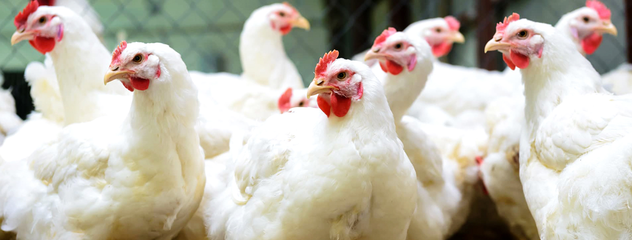 phytogenic coccidiostat - natural supplements to reduce mortality in poultry - Poultry Coccidiosis Associated Antibiotic Overuse and Effective Alternatives alternative
